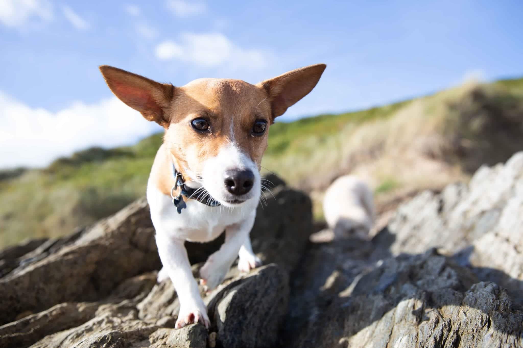 Hüftgelenksdysplasie Hund