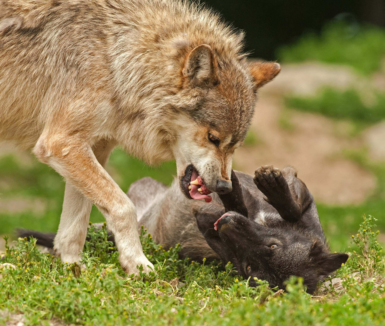Hunde Streiten