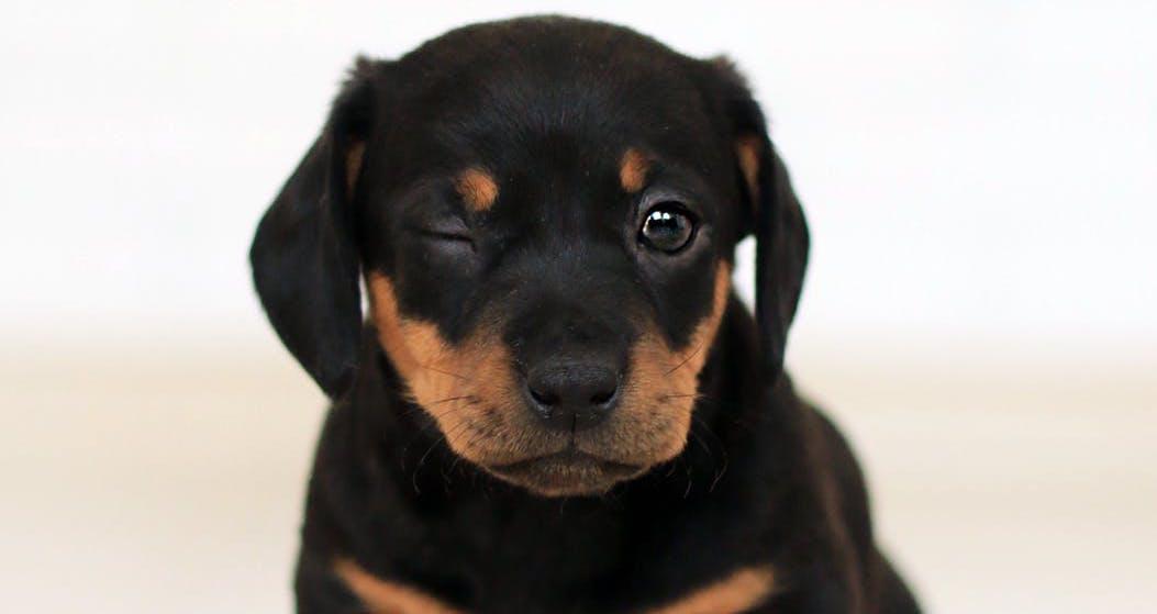 Wie Lange Sind Hunde Schwanger Schwangerschaft Bei Hunden Hundefutter Irish Pure